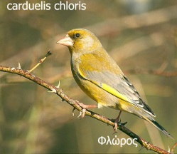 carduelis_chloris_11377 copy