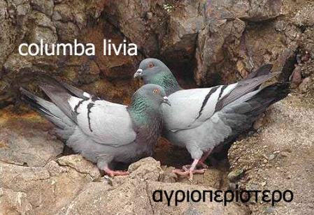 columba_livia_ad9308 copy