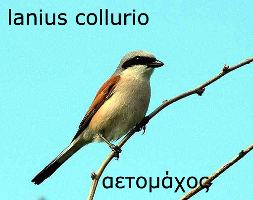 lanius_collurio_232