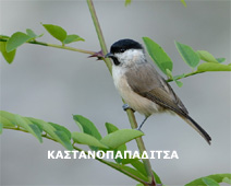 parus palustris
