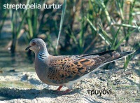 streptopelia_turtur_10207 copy